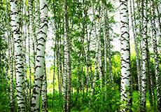 Krausch KG • Bäume